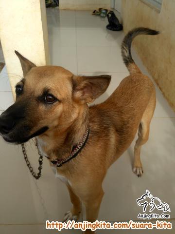 Dicari Adopter Anjing Kampung Jantan 9bulan Suara Kita Anjingkita Com