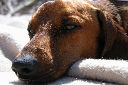 Penyakit Pada Anak Anjing Kesehatan Anjing Anjingkita Com