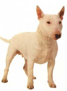 28++ Harga anjing terrier asli terupdate
