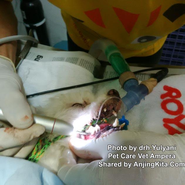 Pembersihan Karang Gigi Pada Anjing Kesehatan Anjing Anjingkita Com