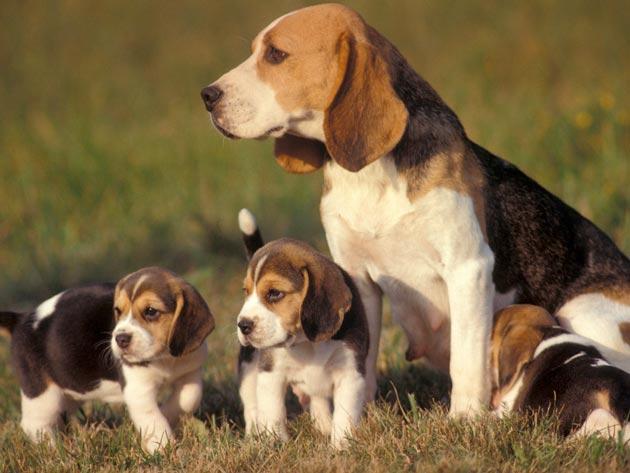 Beagle Si Anjing Pemburu Profil Anjing Trah Anjingkita Com