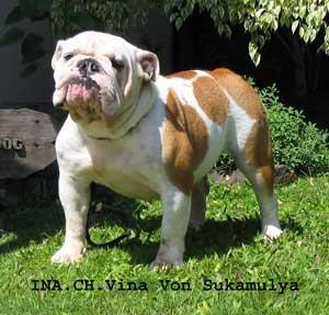 Anjing English Bulldog Jenis Anjing Ras Anjingkita Com