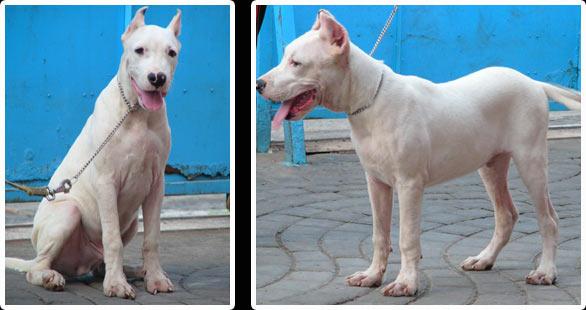 Yehuda Dogo Argentino Kennel Anjing Dogo Argentino Anjingkita Com