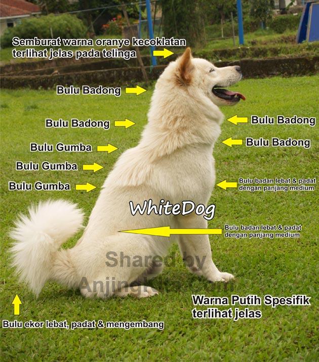 Anjing Kintamani Bali (Perkin) - Jenis Anjing Ras - AnjingKita.Com