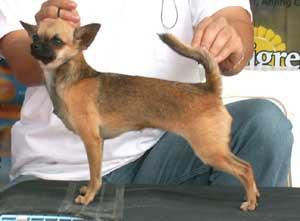 Anjing Chihuahua Jenis Anjing Ras Anjingkita Com
