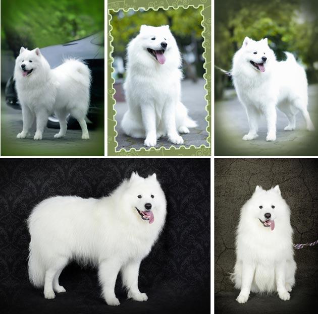 42+ Anjing samoyed putih terbaru