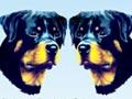 Pameran Anjing Rottweiler Jateng & DIY 2014