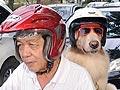Anjing Bisa Dibonceng Naik Motor