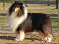 Rough Collie Breed Standard (AKC)