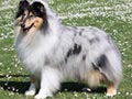 Perbedaan Collie  Breed Standard FCI vs AKC