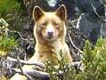 Anjing Langka Ditemukan di Papua Setelah 23 Tahun Hilang