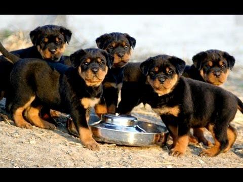 Tips Membeli Anakan Anjing Rottweiler Artikel Anjing Untuk Pemula Anjingkita Com